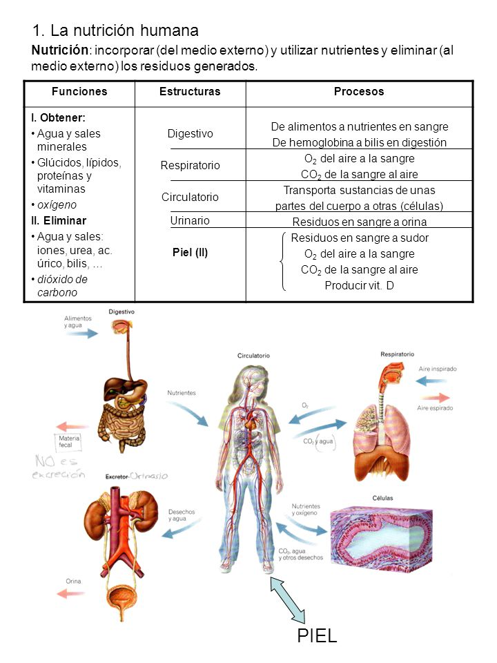 3. Nutrición I. Aparatos digestivo y respiratorio - ppt descargar