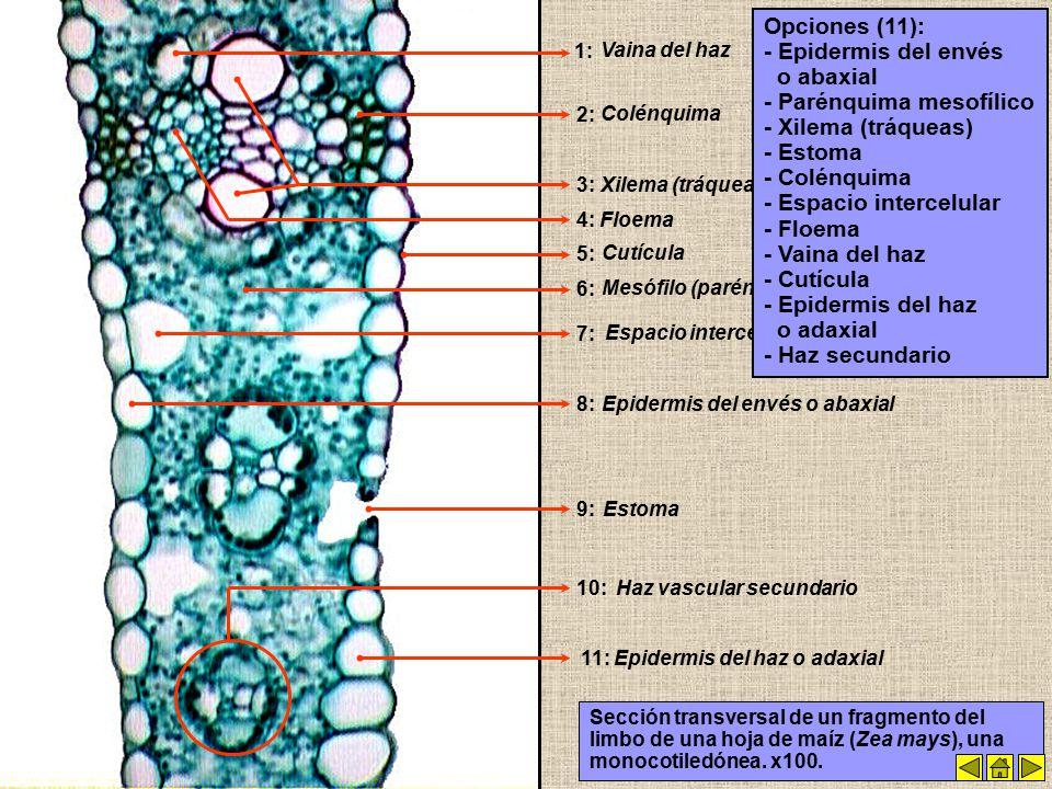 Imágenes y Esquemas de Órganos y Tejidos Vegetales - ppt video ...