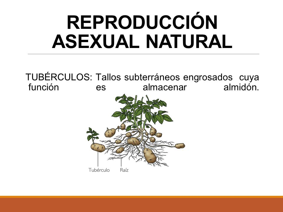 Reproduccion absexual