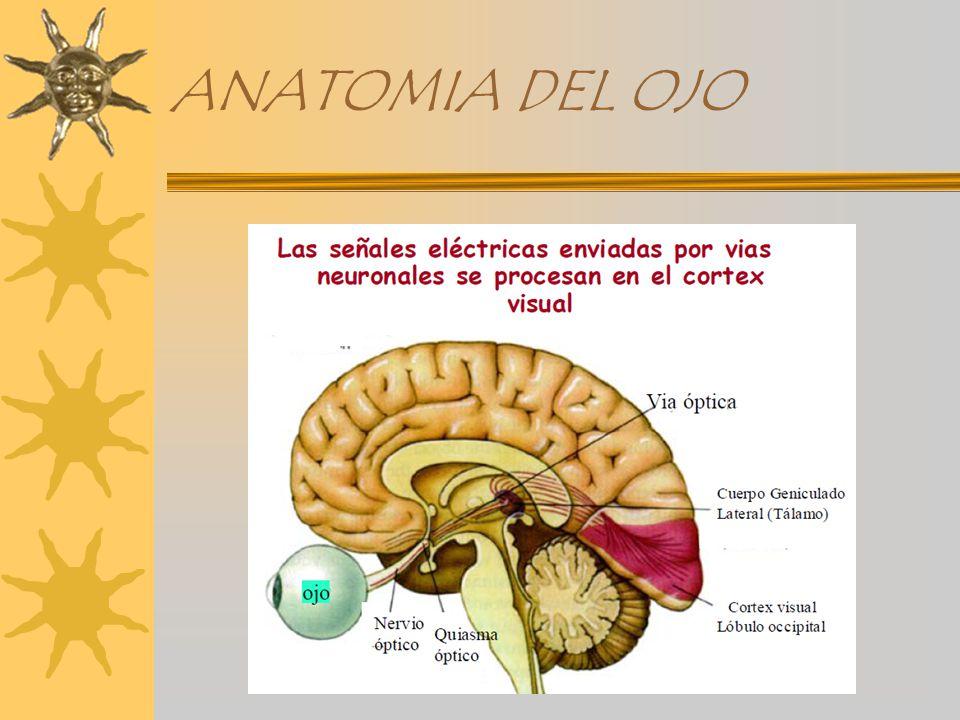 ANATOMIA DEL GLOBO OCULAR - ppt video online descargar