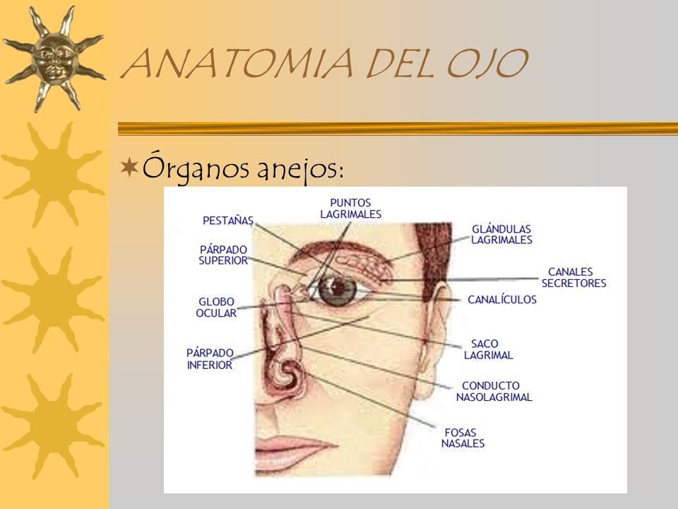 ANATOMIA DEL GLOBO OCULAR - ppt video online descargar