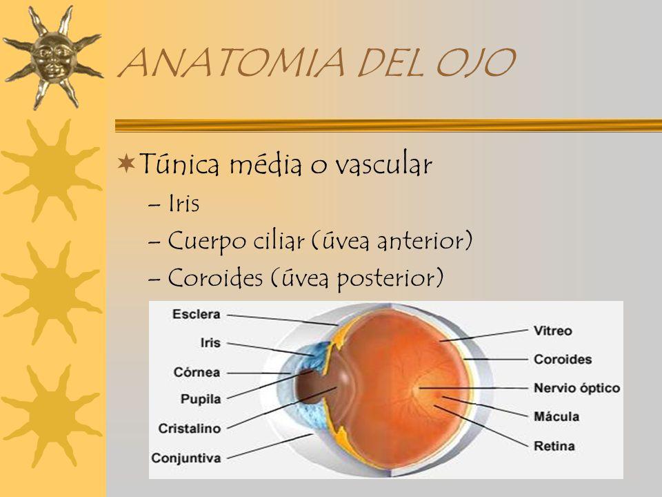 Magnífico La Anatomía Y La Fisiología Del Ojo Powerpoint Patrón ...