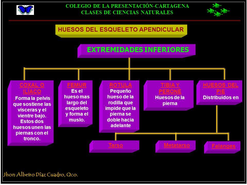 MOVIMIENTO DEL CUERPO ARTICULACIONES MÚSCULOS ESQUELETO AXIAL - ppt ...