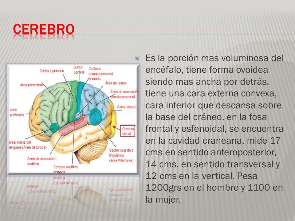 La cavidad del cerebro se llama