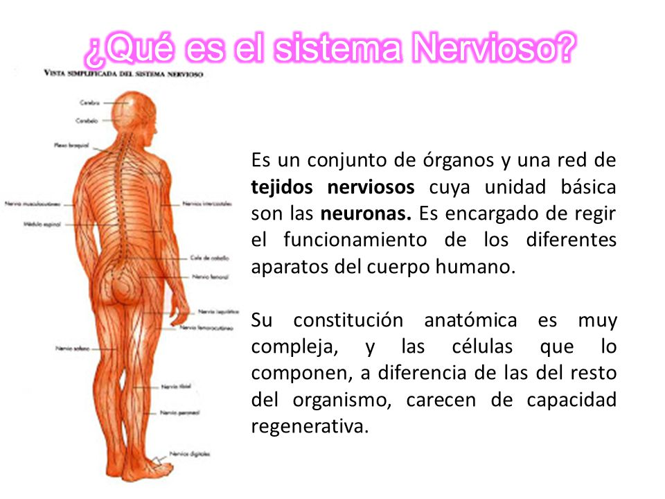 El SISTEMA NERVIOSO. - ppt video online descargar