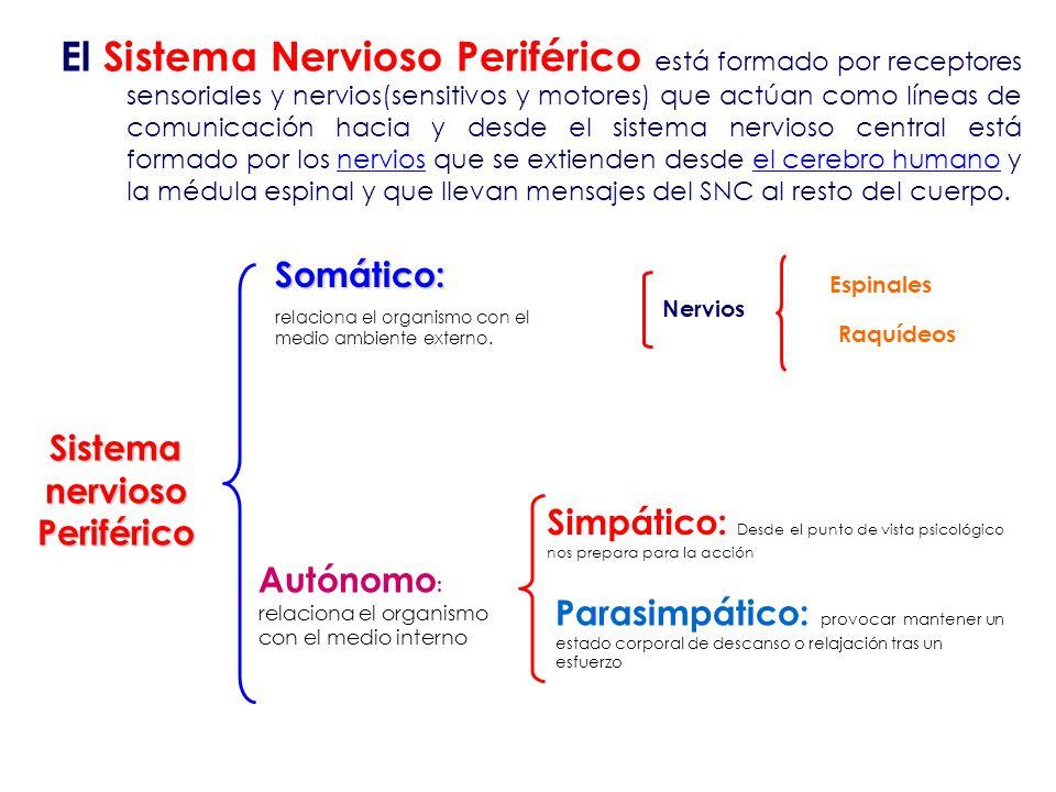 El SISTEMA NERVIOSO. - ppt video online descargar