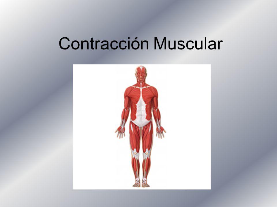 Contracción Muscular. - ppt descargar