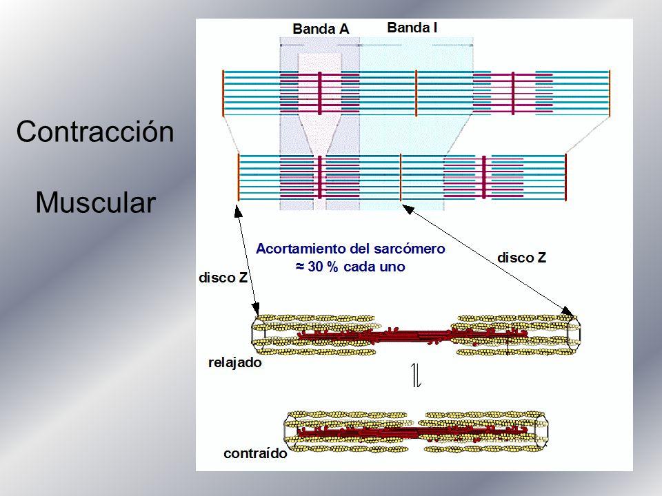 Contracción Muscular Ppt Descargar