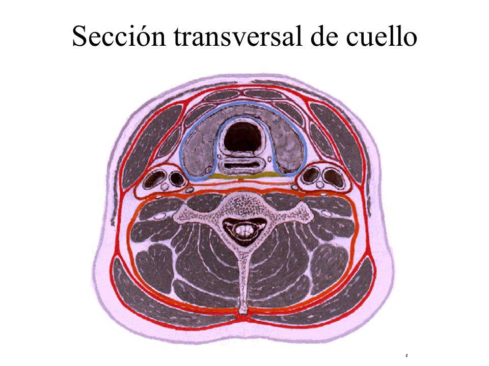 Triángulo cervical posterior - ppt descargar