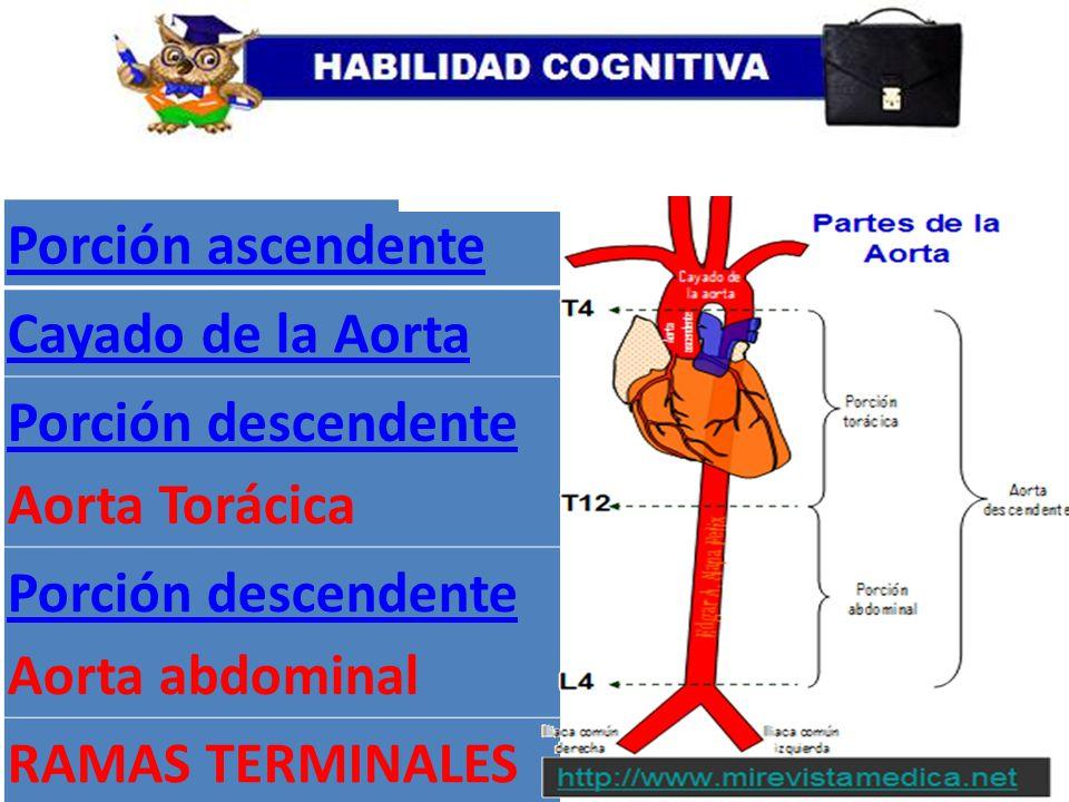 Porción ascendente Cayado de la Aorta Porción descendente Aorta ...