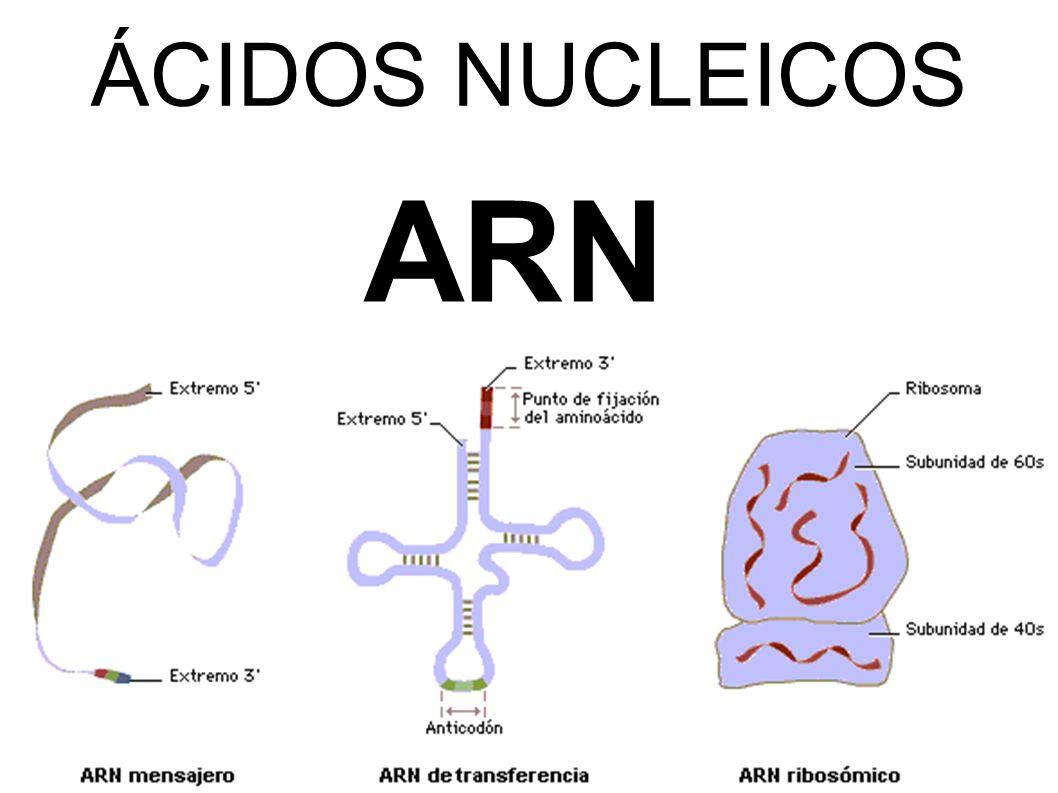 Resultado de imagen para Ácidos Nucleicos