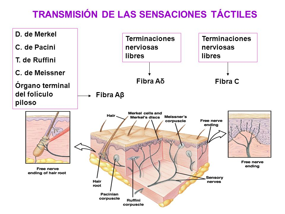 Objetivos: Repasar la organización anatómica del Sistema Nervioso, y ...