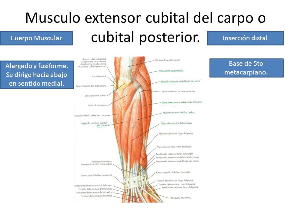 Porción posterior del compartimiento posterior del antebrazo. - ppt ...