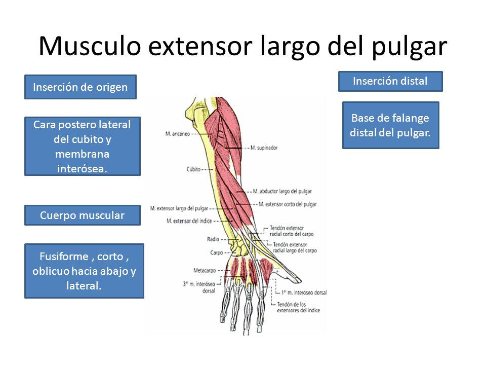 Asombroso Los Músculos Del Pulgar Anatomía Inspiración - Imágenes de ...