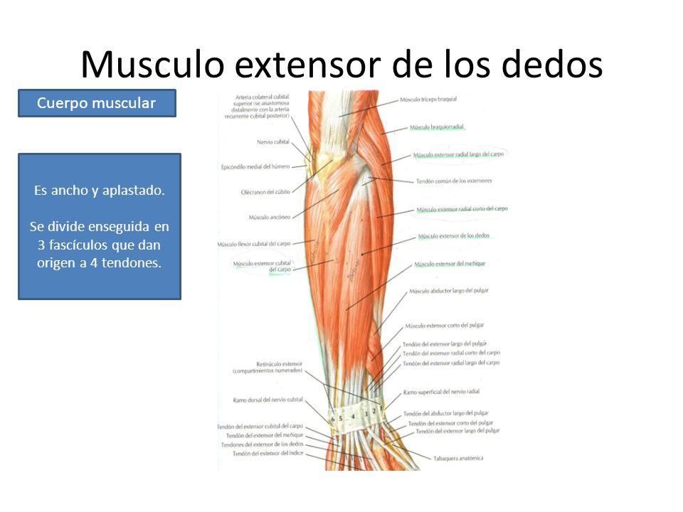 Excelente Músculos Frontales Del Cuerpo Elaboración - Imágenes de ...