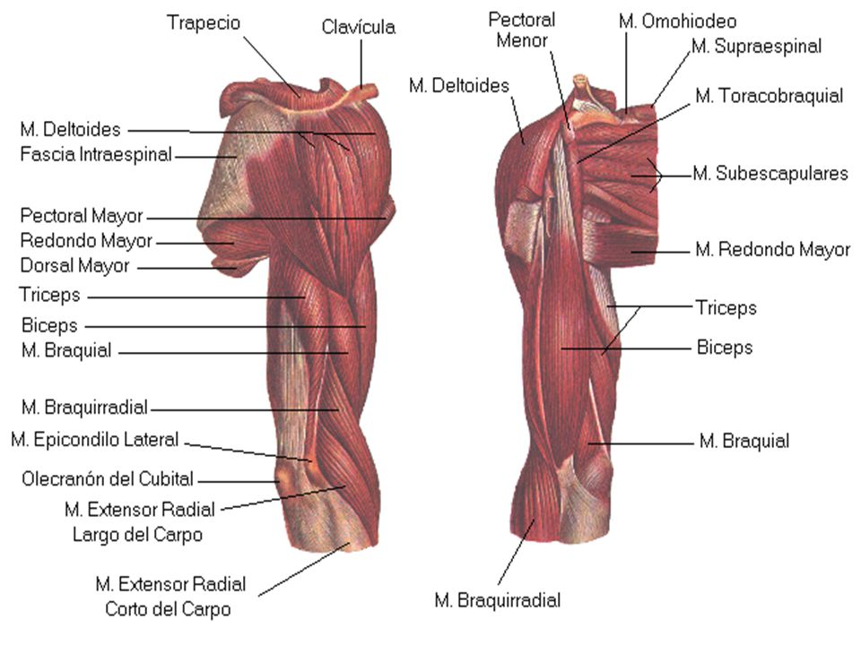 Lujoso Músculos Del Hombro Y El Brazo Colección - Anatomía de Las ...