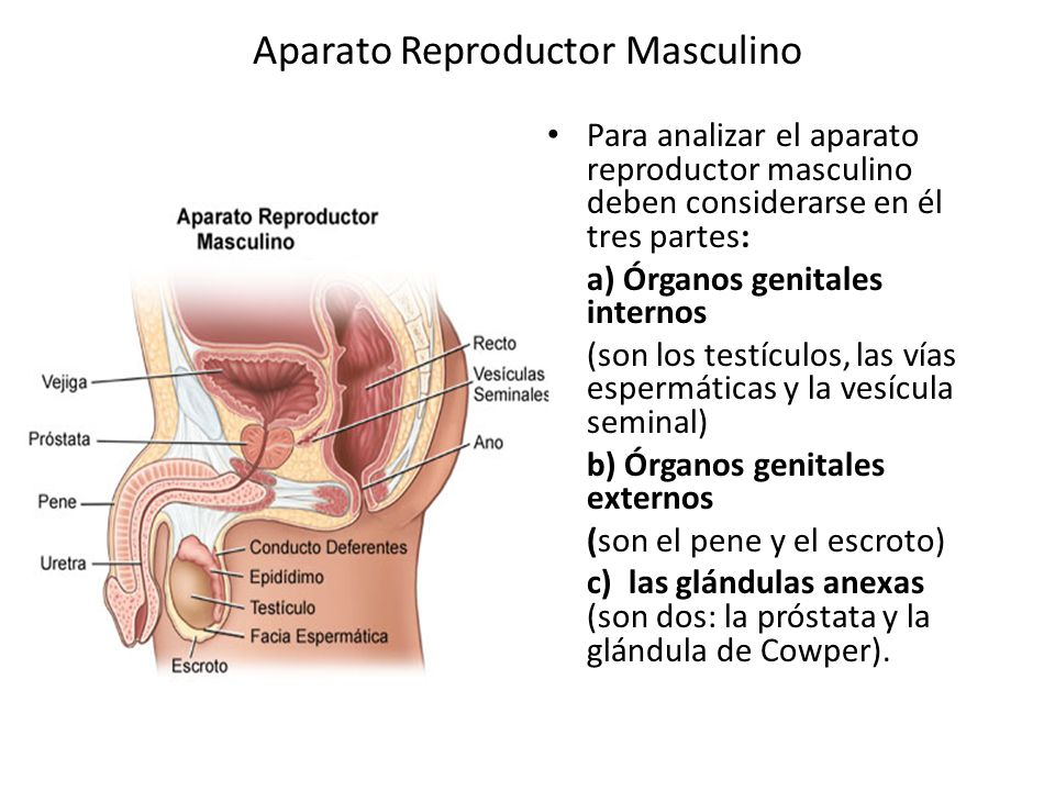Aparato Reproductor Masculino - ppt video online descargar