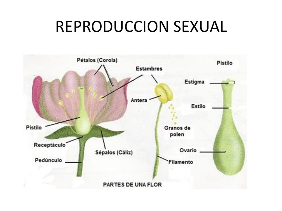 Reino monera reproduccion asexual