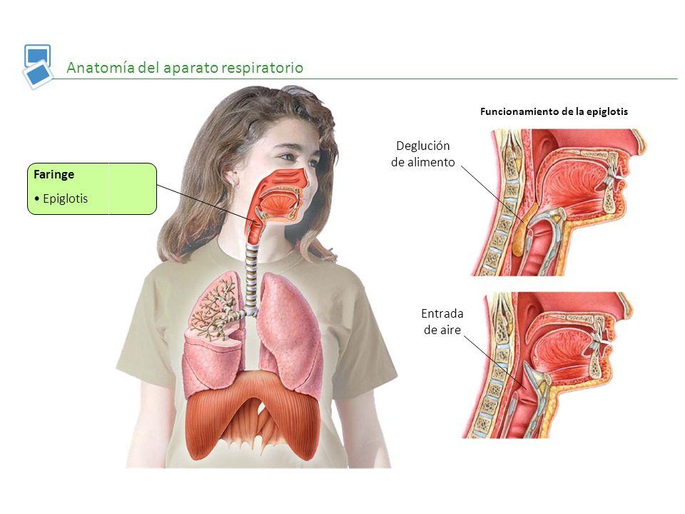 Anatomía del aparato respiratorio - ppt video online descargar