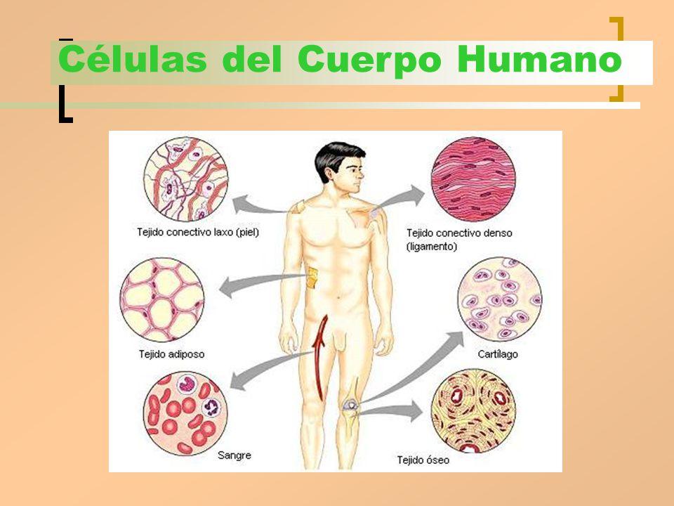 La organización del cuerpo humano - ppt video online descargar