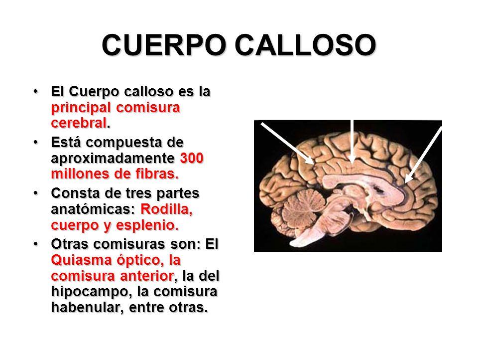 Dorable La Anatomía Del Cuerpo Calloso Galería - Anatomía de Las ...