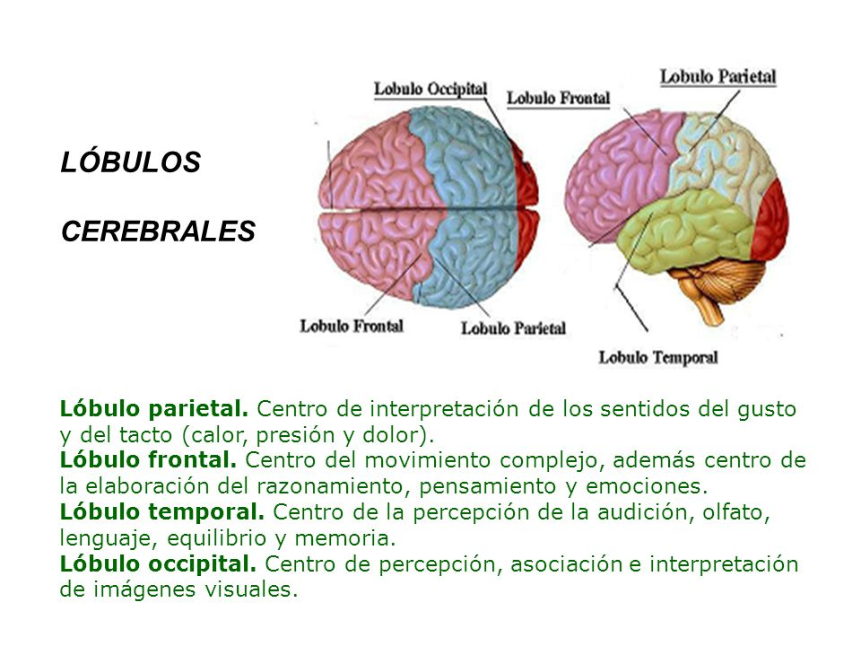 El Cerebro Ppt Video Online Descargar