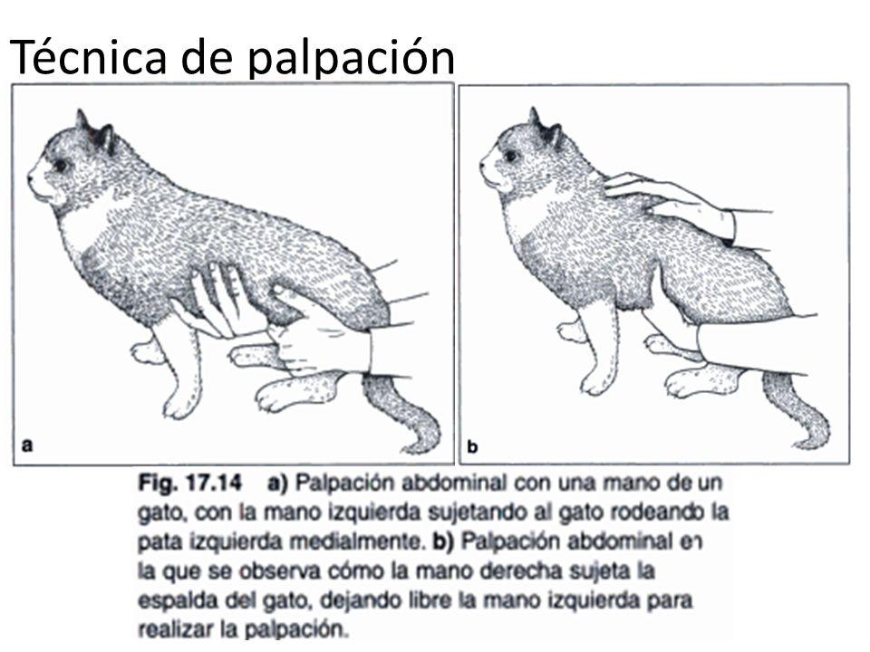 Exploración del aparato digestivo en perros y gatos - ppt video ...