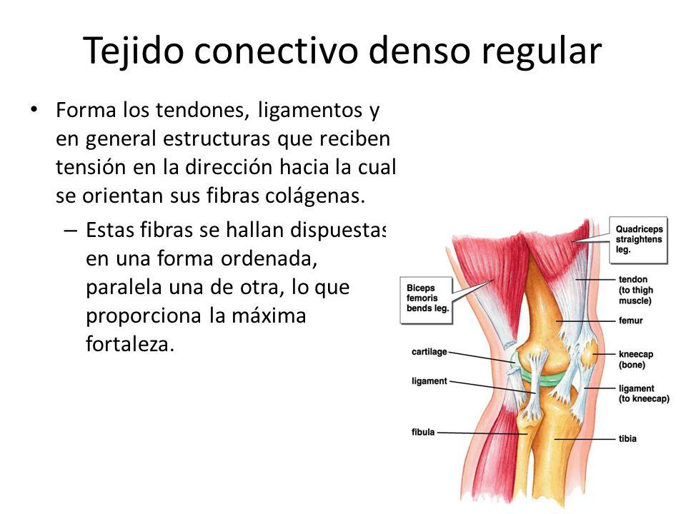 Fantástico Anatomía Del Tejido Epitelial Galería - Imágenes de ...