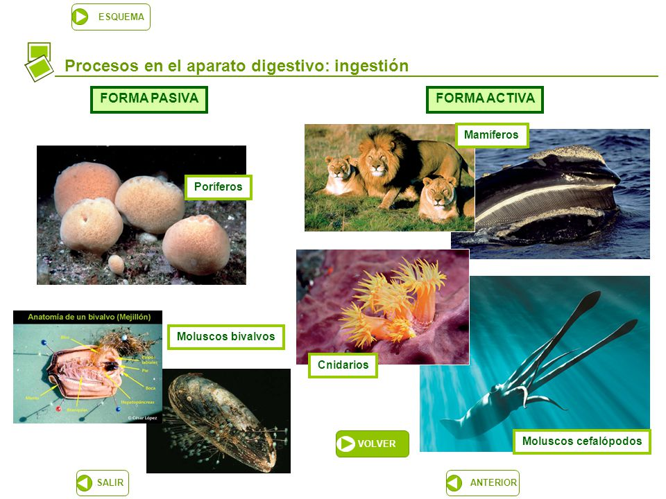 La nutrición de los animales (I). El aparato digestivo - ppt descargar