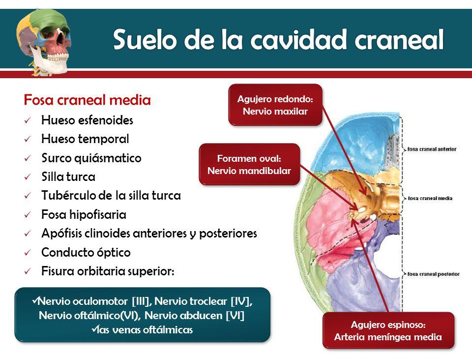 Perfecto Anatomía Anterior Fosa Craneal Friso - Imágenes de Anatomía ...