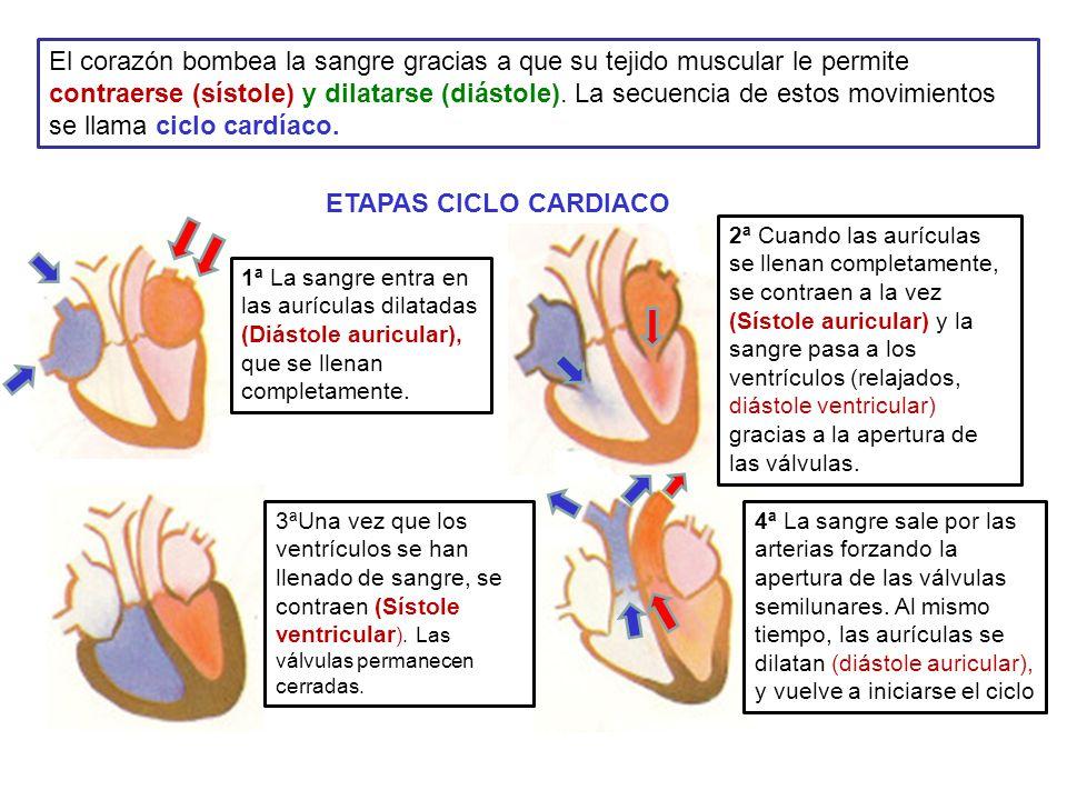 Circuito Que Realiza La Sangre : Aparato circulatorio sangre oxÍgeno a cÉlulas recoger