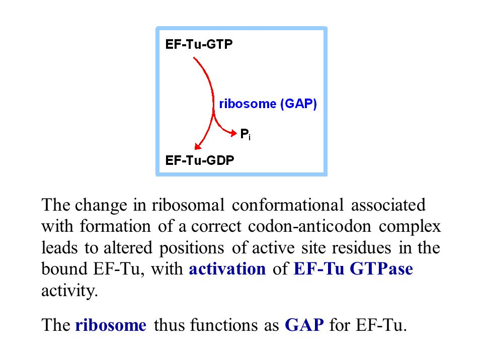 The change in ribosomal conformational associated with formation of a correct codon-anticodon complex leads to altered positions of active site residues in the bound EF-Tu, with activation of EF-Tu GTPase activity.