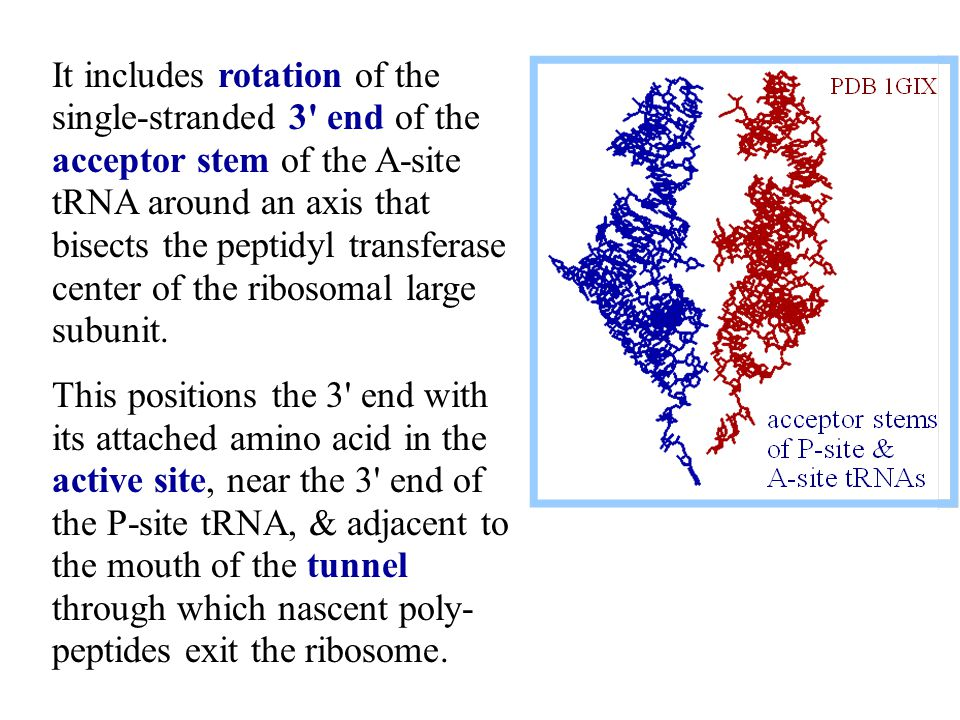 It includes rotation of the single-stranded 3 end of the acceptor stem of the A-site tRNA around an axis that bisects the peptidyl transferase center of the ribosomal large subunit.
