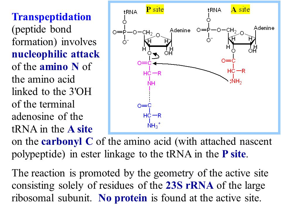 Transpeptidation (peptide bond formation) involves nucleophilic attack of the amino N of the amino acid linked to the 3 OH of the terminal adenosine of the tRNA in the A site on the carbonyl C of the amino acid (with attached nascent polypeptide) in ester linkage to the tRNA in the P site.