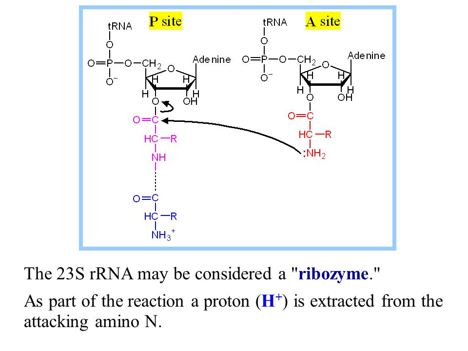 The 23S rRNA may be considered a ribozyme.