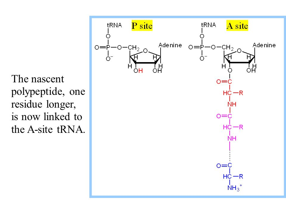 The nascent polypeptide, one residue longer, is now linked to the A-site tRNA.