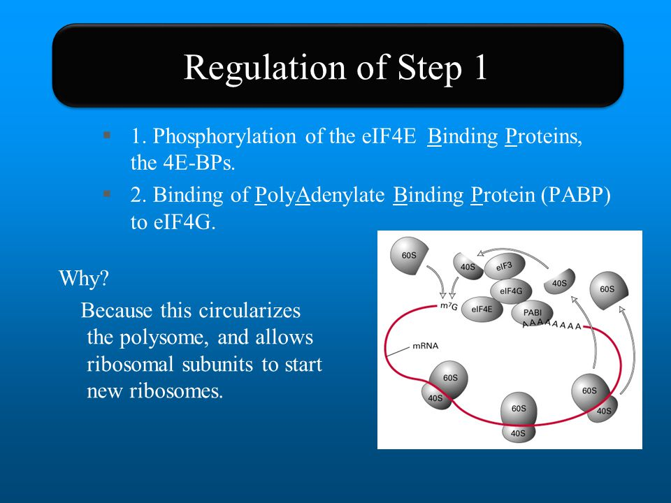 Regulation of Step 1 1. Phosphorylation of the eIF4E Binding Proteins, the 4E-BPs. 2. Binding of PolyAdenylate Binding Protein (PABP) to eIF4G.