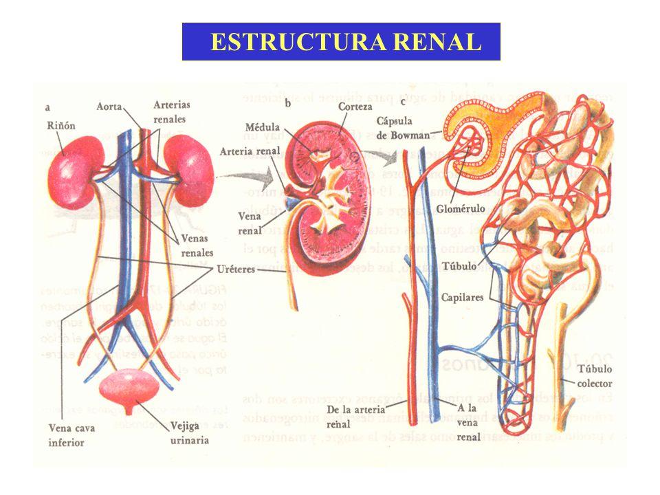 Fitoterapia en afecciones del Sistema Excretor Humano - ppt video ...