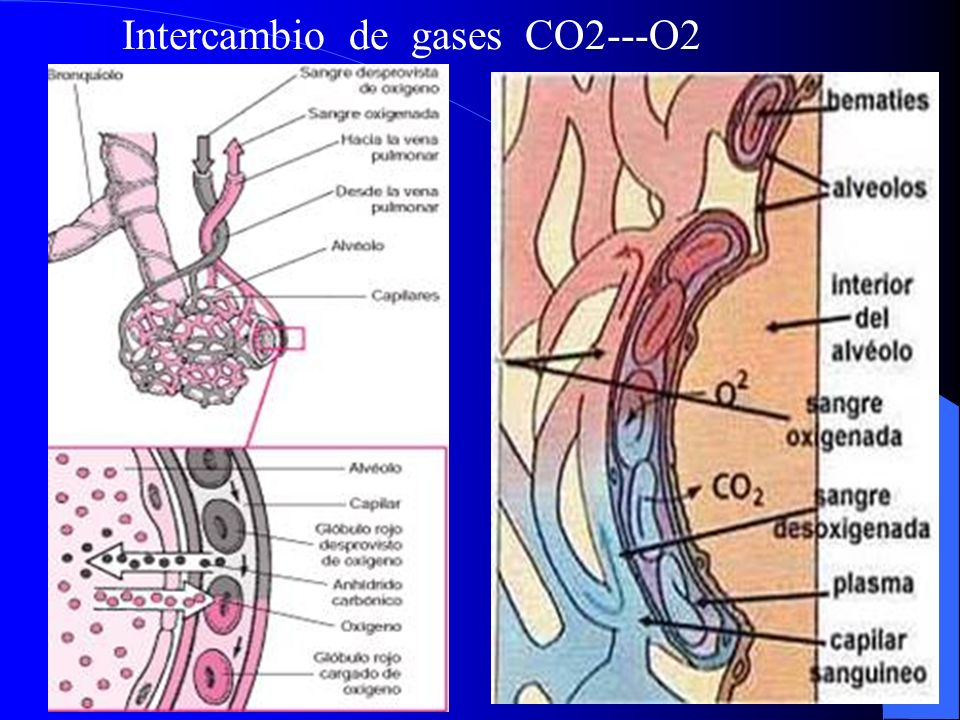 Intercambio de gases CO2---O2