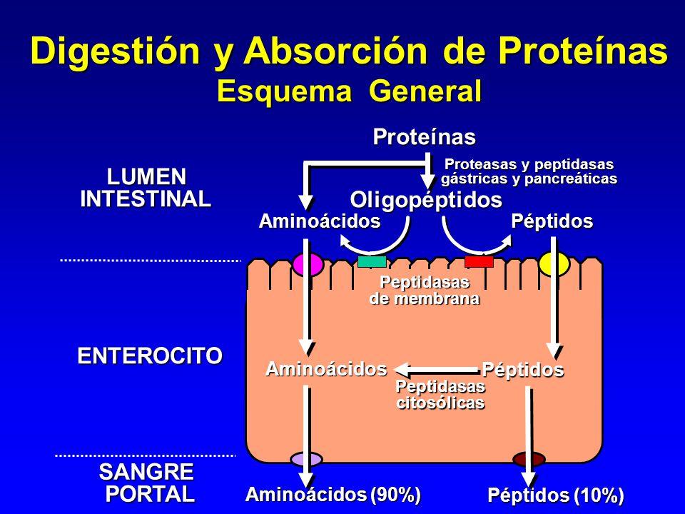 Digestión y Absorción de Proteínas - ppt descargar