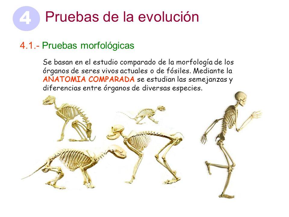 4 Pruebas de la evolución Pruebas morfológicas - ppt video online ...