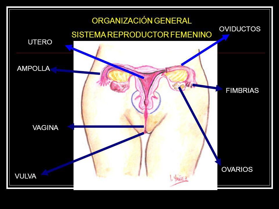 Sistema Reproductor Masculino, Femenino y Hormonas Sexuales. - ppt ...