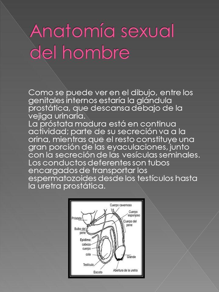 Anatomía sexual. - ppt descargar