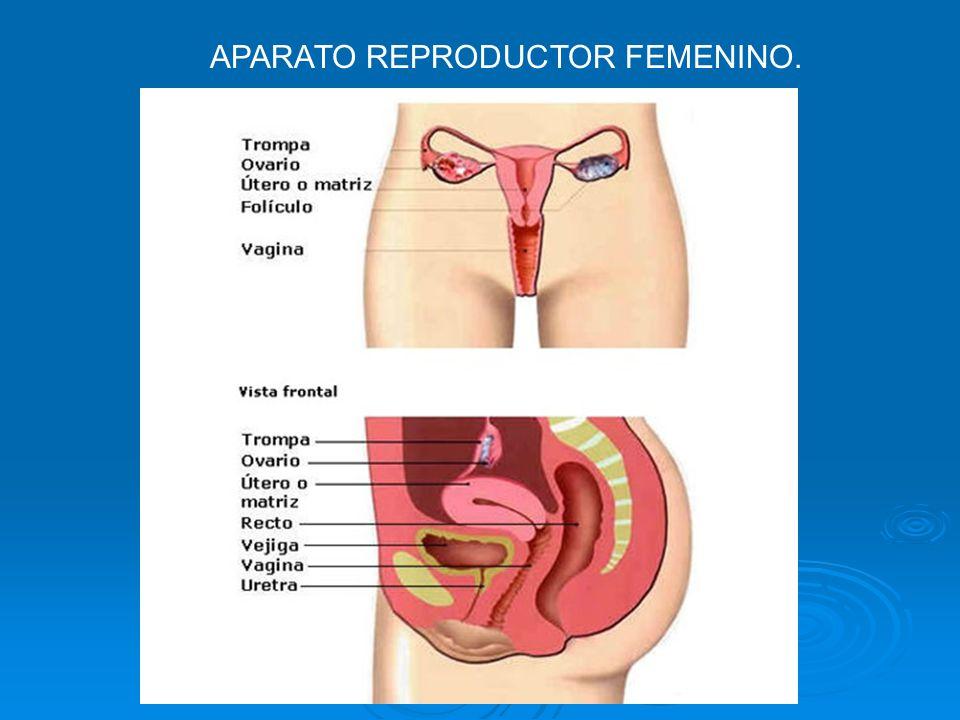 SISTEMA REPRODUCTOR FEMENINO - ppt descargar
