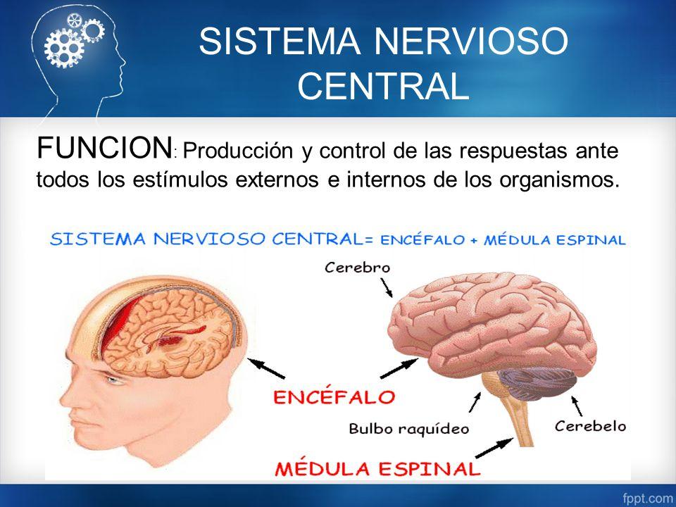 Lujoso La Función Del Sistema Nervioso Modelo - Anatomía de Las ...