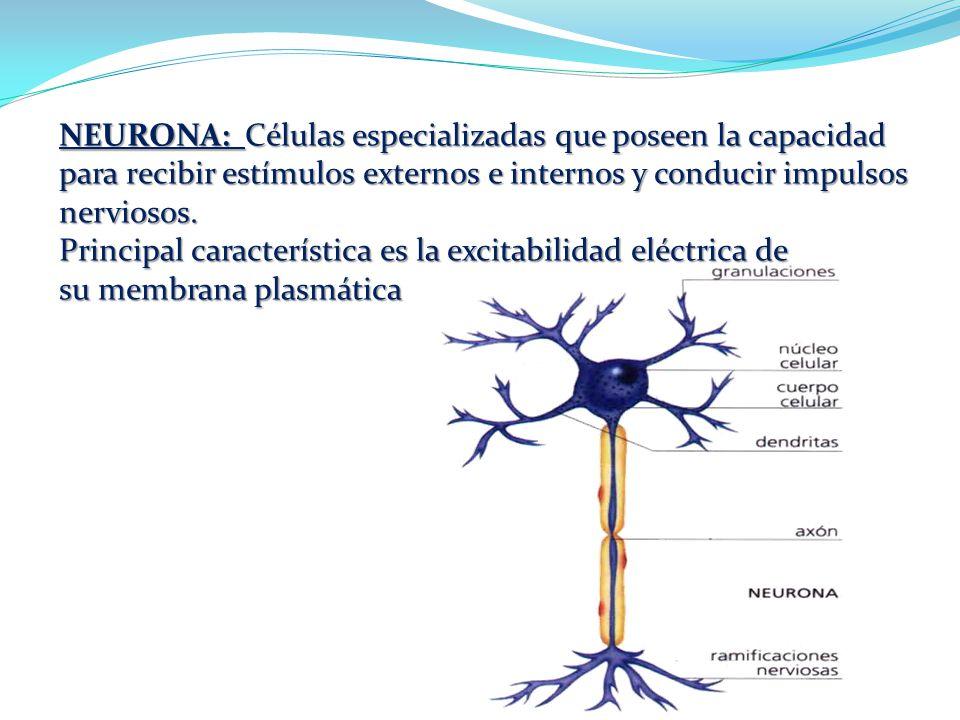 TEJIDO NERVIOSO Conjunto de células especializadas presente en los ...