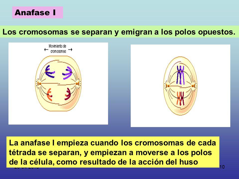 Ang lica urra meiosis ppt descargar for Los nietos se separan