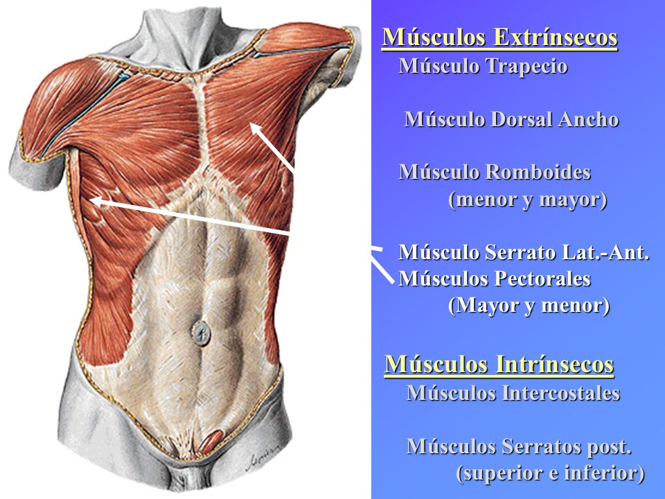 Excepcional Anatomía De Los Músculos Pectorales Modelo - Anatomía de ...