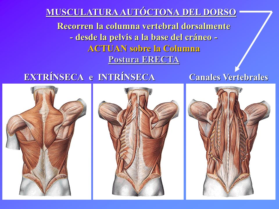MUSCULATURA del TRONCO - ppt video online descargar