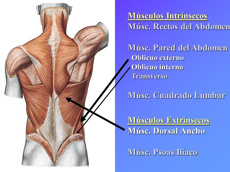 Hermosa Oblicuo Abdominal Externo Componente - Anatomía de Las ...